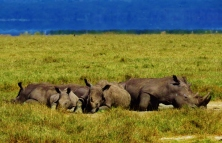 A group of Rhinos enjoying an afternoon siesta